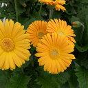 草花の苗/ガーデンガーベラ(ガルビネア):スイート ハニー3.5号ポット