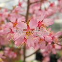 山野草の苗/桜:おかめ桜(オカメザクラ)2.5号ポット 樹高約25cm