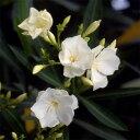 花木 庭木の苗/キョウチクトウ(夾竹桃):マドンナグランディフローラ(白八重)4号ポット