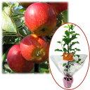 花木 庭木の苗/苗木ギフト:リンゴ:アルプス乙女「特別なあなたへ」カード付