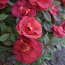 バラの苗/ポットローズ:ミニバラ・コーヒーオベーション4号プラ鉢植え