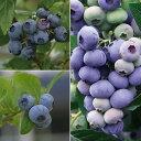 果樹の苗/ブルーベリー:ハイブッシュ系3種受粉樹セット5号苗(デューク・エリザベス・ダロー)
