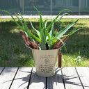 観葉植物/キダチアロエ(木立アロエ)5号鉢植え/カンパーニュブリキバケツ-(アイボリー)入り