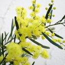 花木 庭木の苗/アカシア:ブリスベーンアカシア5号ポット