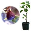 果樹の苗/鉢植え果樹 イチジク:ネグロ・ラルゴ8号鉢植え