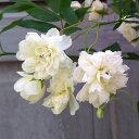 バラの苗/モッコウバラ:白花八重咲き3号ポット