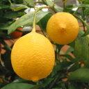 【ラッキーシール対応】果樹の苗/レモン:リスボンレモン4〜5号ポット