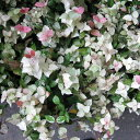草花の苗/ハツユキカズラ3号ポット2株セット[02P03Dec16]