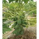 果樹の苗/パパイヤ:ベニテング 3.5号ポット2株セット(野菜・果物兼用)