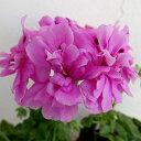 草花の苗/アイビーゼラニウム:pacシビル ライラック3.5号ポット