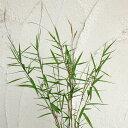 山野草の苗/黒軸カリヤス2.5号ポット