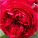 バラの苗/つるバラ:ルージュ・ピエール・ド・ロンサール大苗長尺6号ポット