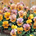 草花の苗/ビオラ:ビビ マンゴーアンティーク3〜3.5号ポット8株セット