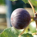【ラッキーシール対応】果樹の苗/イチジク:ビオレ・ソリエス4〜5号ポット