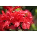 花木 庭木の苗/久留米ツツジ:飛竜の舞(ひりゅうのまい)5号ポット5株セット