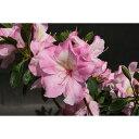 花木 庭木の苗/久留米ツツジ:御代の栄(みよのさかえ)5号ポット5株セット
