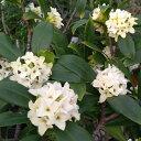 花木 庭木の苗/沈丁花(ジンチョウゲ):白花4〜5号ポット