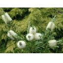 花木 庭木の苗/カリステモン:ホワイトアンザック5号ポット