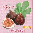 果樹の苗/甘~いミニイチジク:ネルゴラルゴ3号ポット