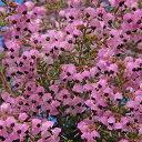 花木 庭木の苗/ジャノメエリカ3.5号ポット
