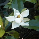 花木 庭木の苗/タイサンボク:リトルジェム 樹高1.5m根巻き