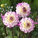 球根/ダリア:花祭り(はなまつり)1球入り