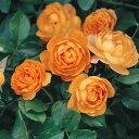 バラの苗/[20年10月中下旬予約]四季咲中輪バラ:ハニーキャラメル大苗