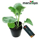 マルトヨの苗 茎ブロッコリー スティックセニョール 9cmポット苗 【ぶろっこりー】【
