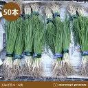 玉ねぎ苗 中生 O・K黄 50本 【タマネギ】【玉葱】【オーケーキ】