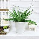 アスプレニウム・ケンゾイ(オニヒノキシダ)6号鉢仕立 花 ガーデン DIY 観葉植物 流通の少ないシダ植物 テーブルグリーン シダ ケイゾン アスプレニューム 送写真の様な商品お届け 料無料