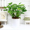 フィロデンドロン・クッカバラ/h45cm 陶器鉢仕立 花 ガーデン DIY 観葉植物 中型