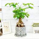 ヘテロパナックス・フレグランス/H44cm セメントポット鉢 根上がり仕立て仕立 盆栽風