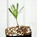 エリオスペルマム アルキコルネ Type-VDV EQ305 Eriospermum alcicorne キジカクシ 植物 珍しい 観葉植物 珍奇植物