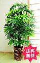【送料無料】観葉植物 観音竹 TAN-642