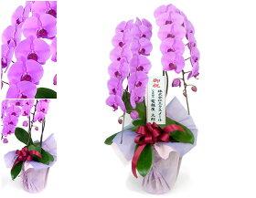 「特選胡蝶蘭2本立ピンク」の詳細