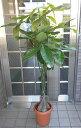 中型観葉植物 パキラ