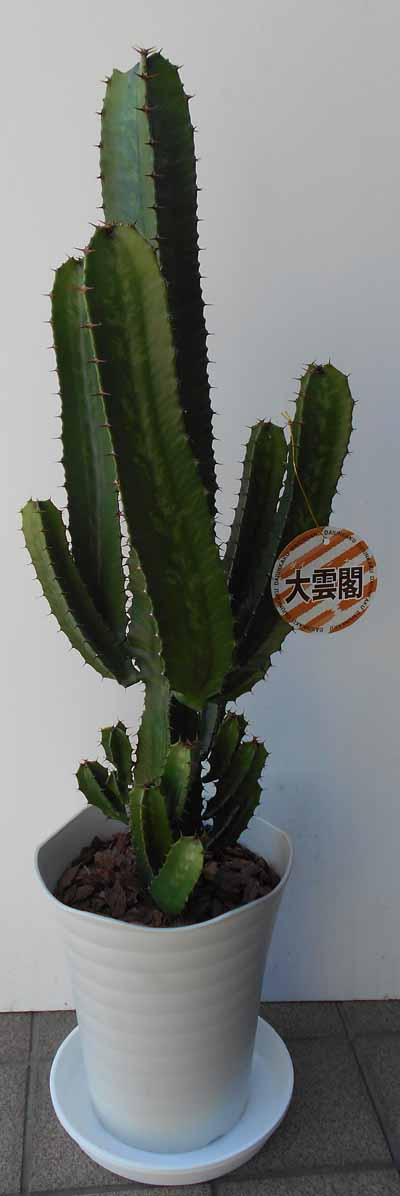 【大雲閣】サボテン タイウンカク【七号鉢】受け皿入りの商品画像