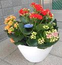 三色ミックス咲きのカランコエ お誕生日 お祝い 母の日...