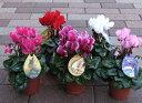 北海道産  ガーデンシクラメンの苗