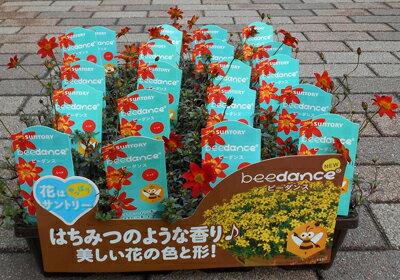 サントリーの生育力と開花持続抜群のビーダンスの苗