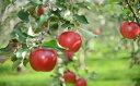【ふるさと納税】《先行予約》《令和3年産》北海道深川産りんご(つがる)5kg(果物 フルーツ 北海道 リンゴ)