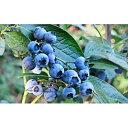 【ふるさと納税】<仁木ファーム>北海道仁木町産冷凍ブルーベリー約1kg 【冷凍フルーツ・果物】