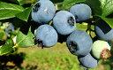 【ふるさと納税】峠のふもと紅果園のブルーベリー約1kg(50...