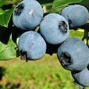 【ふるさと納税】峠のふもと紅果園のブルーベリー約1kg(500g×2) 【ぶどう・果物・詰合せ・セッ...