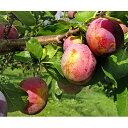 【ふるさと納税】峠のふもと紅果園のプルーン約2kg【パープルアイ】 【果物・ぶどう・フルーツ・果物・...