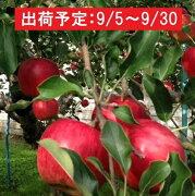 【ふるさと納税】9月 土岐りんご園 家庭用サンつがる約10kg 【果物・フルーツ・くだもの・林檎・林檎】 お届け:2019年9月5日〜2019年9月30日