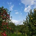 【ふるさと納税】〔青森県鰺ヶ沢町産りんご〕さいきち農園のサン...
