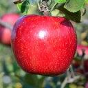【ふるさと納税】【2020年産・先行受付】りんご「サンふじ」