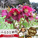 【ふるさと納税】No.053 クリスマスローズ 赤紫