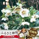 【ふるさと納税】No.055 クリスマスローズ 白